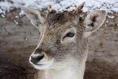 Santa's Little Helper (ncmiller1) Tags: ca reindeer bigbear rangifertarandus