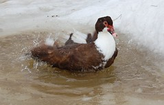 Bathing duck