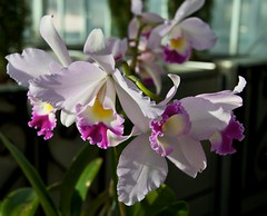 (sjbp) Tags: orchid orchids wintercarnival eyecatchers stpaulwintercarnival flowerpicturesnolimits minnesotaorchidsociety