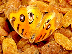 raisin bee (sakshi_sharma) Tags: food orange beautiful sweet colourful soe buterfly raisin beautyful potofgold