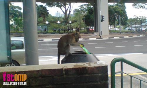 Monkey romps all the way to Thomson Road for his lunch