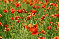 LoST iN THe BoKeH PoPPY FieLD MaYBe You FiND LaDYBuG (Sashs Kitchen-Studio Photography) Tags: red happy weekend poppy sascha ladybug 100 soe myhood rueb furz blueribbonwinner goldengarden insashi poppiefield rb platinumphoto colorphotoaward aplusphoto citrit betterthangood awesomeblossoms themonalisasmile visionqualitygroup grazieatuttiebuonweekend allrightreservedsascharueb allrightsreservedsascharueb sashskitchenstudiophotography