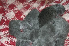 Kitty pile (Unturned Stones) Tags: cat born birth pregnancy kitty kittens givingbirth onehourold
