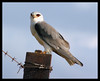 Black-shouldered Kite by Elaine Fisher
