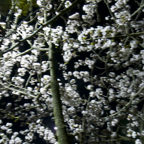 Extracted Cherry Blossoms