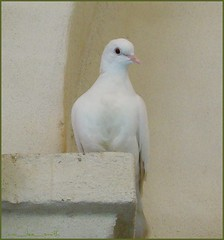 peace (ana_lee_smith) Tags: italy white wall peace dove buddha jesus ledge tuscany salvation cloisters musicvideo assisi ascension stucco leonardcohen resurrection stfrancisofassisi hallelujah kdlang happyeaster eastersunday youtube sonofgod whitedove doveofpeace analeesmith thebasilicaofstfrancis april12th2009