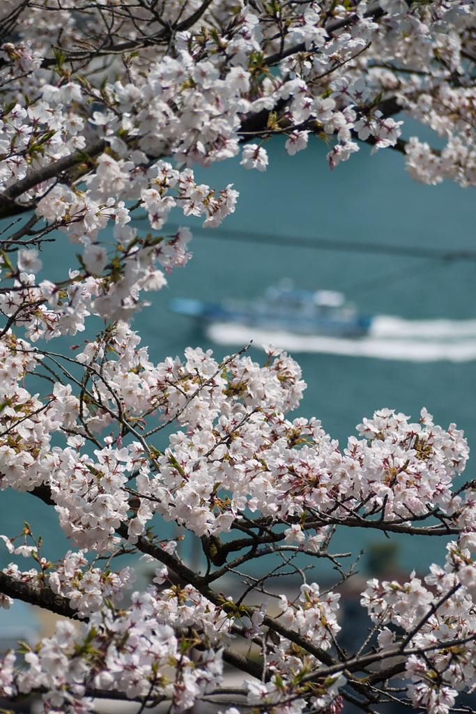 Cherry blossoms @Onomichi 2