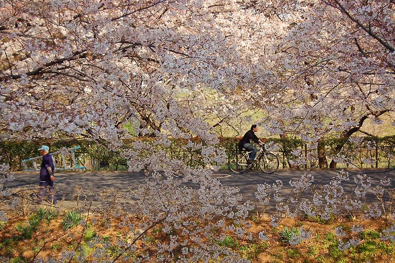 _cherry_blossom-1_
