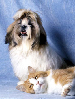 shih tzu and cat