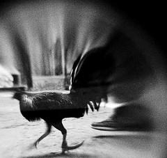 COCKFIGHT (9) (Peter_O'Driscoll) Tags: gambling game spur fight fighter attack culture cockpit clash peter coliseum rooster tradition breed combat gamble betting bet cultural gladiator manok gamecock gambler gallera sabong wager bloodsport cockfighting odriscoll stamina warrier panay gamefowl hahnenkampf cityoflove iloilocity combatdecoqs rinhadegalo bulang 鬥雞 colseum sagupaan đágà combattimentodigalli bulangan pasampok 闘鶏 닭싸움 riñadegallos петушиныебои ตีไก่ sabonero manoktukaan peterodriscoll