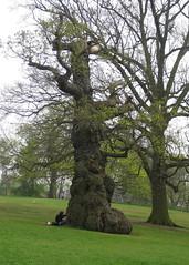 Ancient tree, Christchurch Park, Ipswich (wonky knee) Tags: uk suffolk ipswich christchurchpark ancienttree arbrecentenaire arbreancien arbreenorme altebaum grossebaum