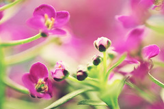 Alyssum  (60mm f/2.8) (AlexEdg) Tags: flower macro dof bokeh bud 60mm 2009 alyssum 60mmf28 nikond30 alexedg alledges
