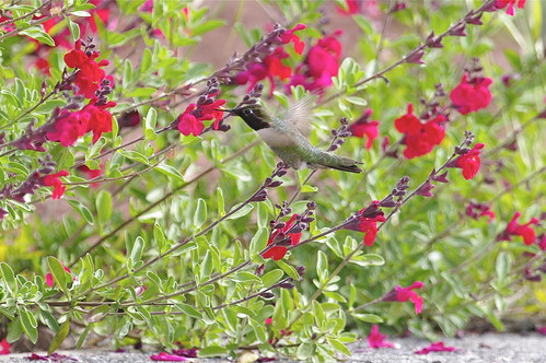pentax f* 300mm f/4.5 on humming birds