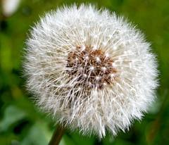 Lwenzahn (matraf9799) Tags: dandelion lwenzahn pustelblume
