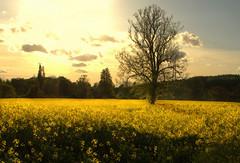 (digitalpsam) Tags: uk sky sun yellow photoshop spectacular landscape pretty heaven mood glow surreal warwick warwickshire imagery rapeseed 100commentgroup creativeandamazingphotographers sammatta