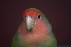 In the pink (Chalto!) Tags: animal zoo parrot hampshire captive lovebird marwell marwellzoo 15challengeswinner