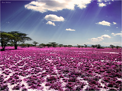 Meadow of Life (Ben Heine) Tags: africa trees wild plants flower art sol fleur beauty print poem quiet colours god kenya spirit earth air breath violet peaceful happiness ground manipulation safari oxygen filter silence serenity soul planet terre mauve prairie sunrays nuages copyrights bonheur digitalphoto retouching mothernature calme dieu ecosystem listen afrique conceptualart boz sauvage plante srnit clours naturesfinest me blueribbonwinner savane respiration rayonsdesoleil abigfave benheine charlesgarcia naturewatcher alemdagqualityonlyclub vosplusbellesphotos hubertlebizay meadowoflife infotheartisterycom peregrino27newvision