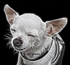 I'm so tired... (gilmolm) Tags: dog chihuahua cane photoshop canon song sunny plugin 1001nights visualart thebeatles barone imsotired flickrhappy theunforgettablepictures platinumheartaward flickrestrellas fractalius rubyphotographer canonpowershotsx110is freedancephotographers baronvonciccio