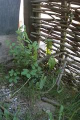 60 Haithabu 10-05-2009
