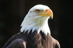 Weikopfseeadler (fotografgox) Tags: 26055 weiskopfseeadler fotografgox fmgoos 20090408