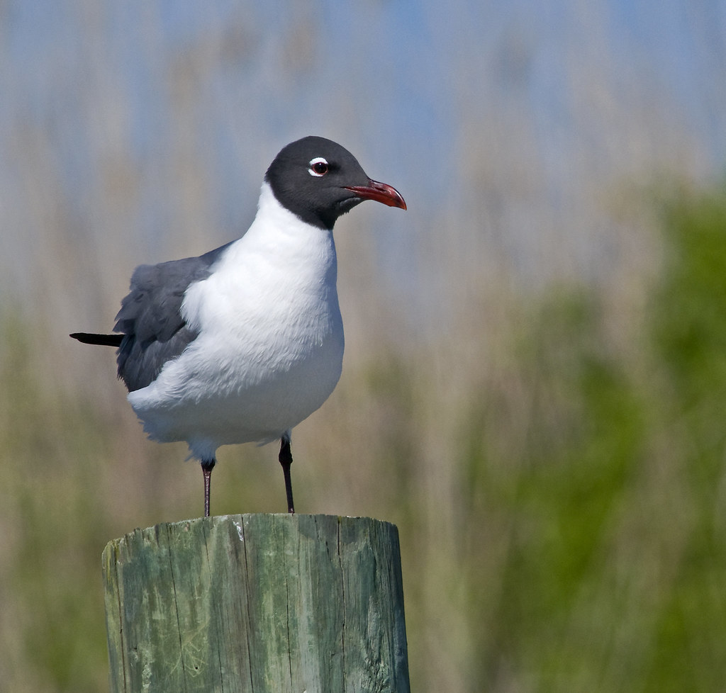 Laughing Gull, Summer