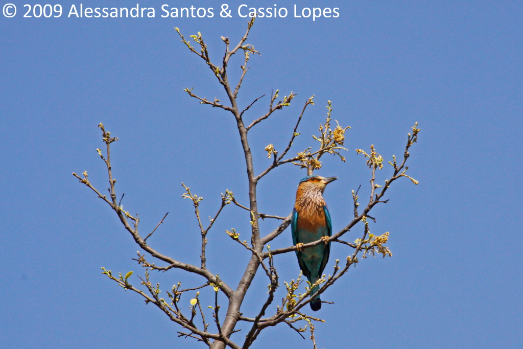 Indian Roller_MG_1089_F