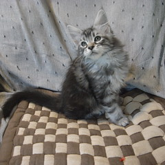 R0011125.JPG (yasuyuki) Tags: cat kitten maine coon mainecoon yumoto iphotorating0
