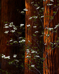 "Spring ""Snow"" (Floris van Breugel) Tags: old flowers trees spring ancient grove growth bloom redwood dogwood sequoia"