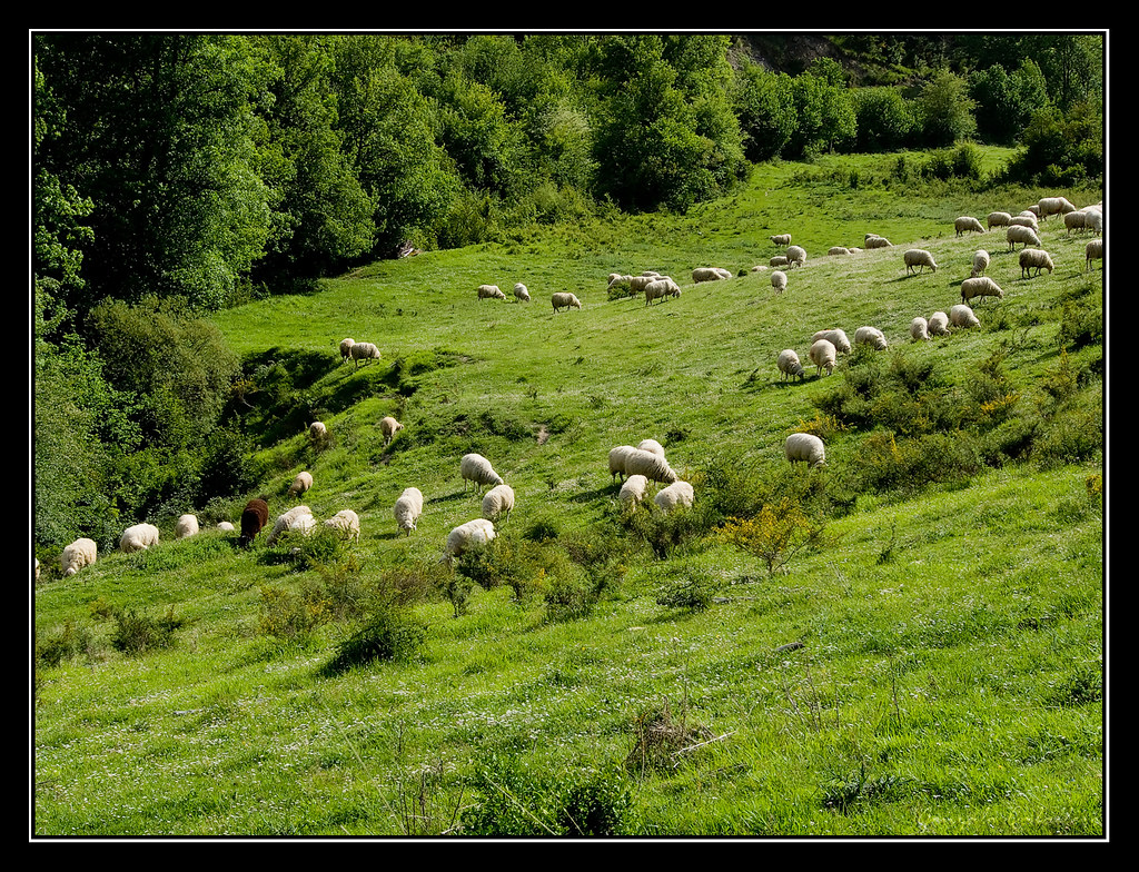 Ovejas pastando cerca de Ayechu (Navarra)