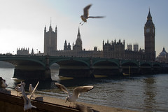A Parliament of gulls (Unhindered by Talent) Tags: uk greatbritain england seagulls london birds thames river unitedkingdom britain gulls parliament bigben february 2008 riverthames westminsterbridge sabbatical houseofcommons parliamentoftheunitedkingdom