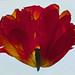 LivingHome- Ann Parker Orange Parrot Tulip 1996