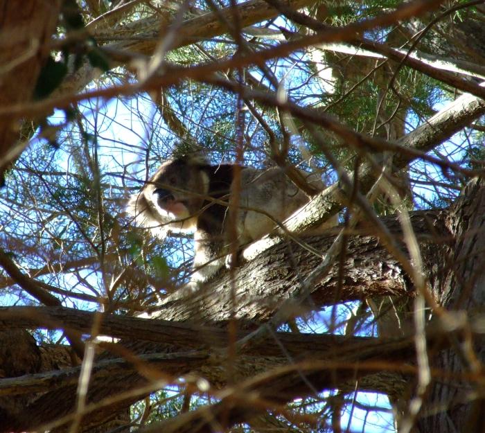 hiding koala