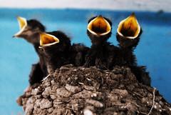 Pajaros 2 (Kazyel) Tags: bird birds mexico aves pajaros babybird nido aguascalientes swallows golondrinas vladimir bebes babyswallows avespequeas kazyel colinasdelrio golondrinasbebes avesbebes