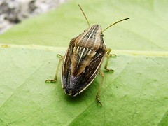 stink bugs photo by Aelia sp.