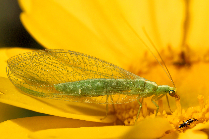 Chrysopidae Galiza