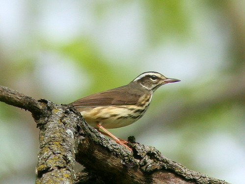 Louisiana Waterthrush 20100430