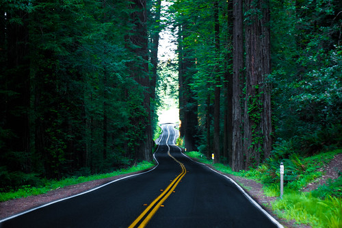 The road winds among the redwoods in California