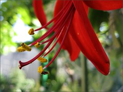 Red Aztec Lily #2