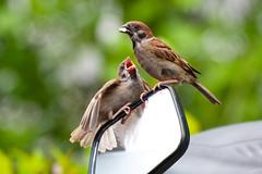 Please ...... a 500mm f/4 ? (terencehonin) Tags: bird nature birds mirror nikon feeding sparrow feed nikkor 70300mm passermontanus eurasiantreesparrow d700 afsvrzoomnikkor70300mmf4556gifed