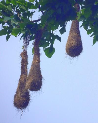 Oropendola Nest
