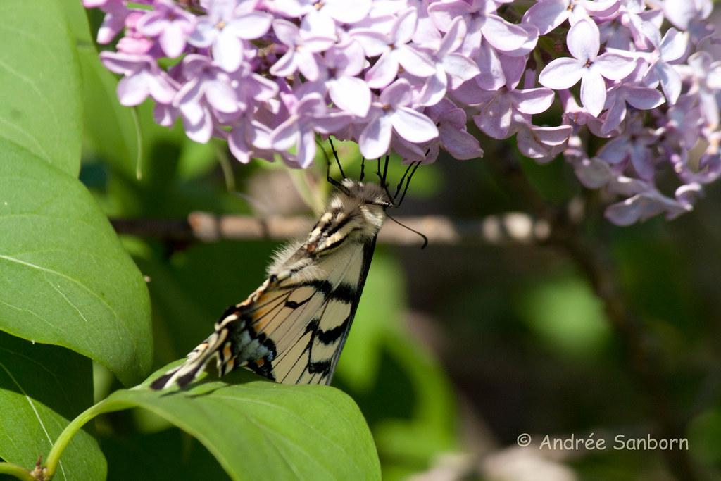 Eastern Tiger Swallowtail (Papilio glaucus)-21.jpg