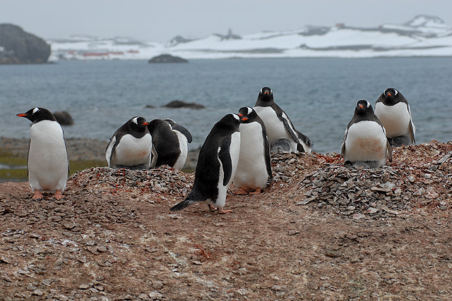 Penguins on Ardley Island, Antarctic Peninsular