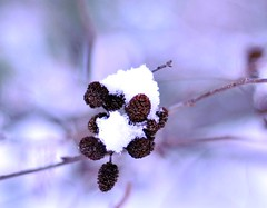 ~Frozen in time~ (nushuz) Tags: bokeh frozenintime supershot hbwe happybokehwednesdayeve snowonbabypinecones notmuchtoshootthesedays inthisvasttundraland