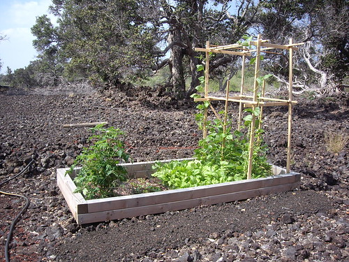 RAISED BED WITH BEANS