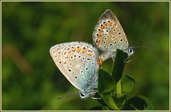 accouplement papillons azurs (jd.echenard) Tags: macro love butterfly papillon amour borboleta mariposa liebe farfalla schmetterling perhonen kelebek fjril motyl fluture nacr pillango kupel argusbleu macropapillon accouplementpapillon papillonazur papillonargus fnv somerfugl