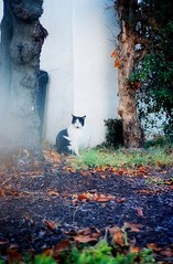 Feral cat (catfilmnoir) Tags: cat tuxedocat 貓 feralcat straycat blackwhitecat thelittledoglaughed bestofcats