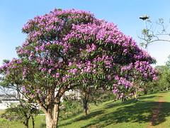 QUARESMEIRA-ROxA (Tibouchina Granulosa). Parque CERET Sao Paulo. Brazilian native