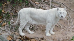 stripeless (denn) Tags: china white animals zoo denn whitetiger panyu stripeless chimelong