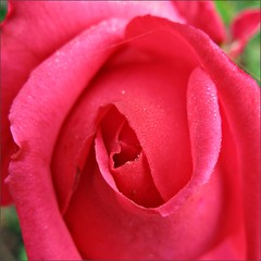 Rose blooming on January 31st