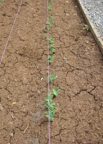 peas-coming-up